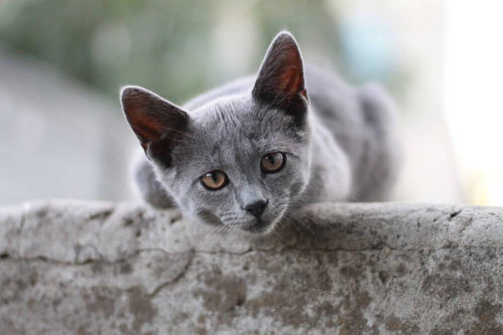 Nama Kucing Betina Abu Abu