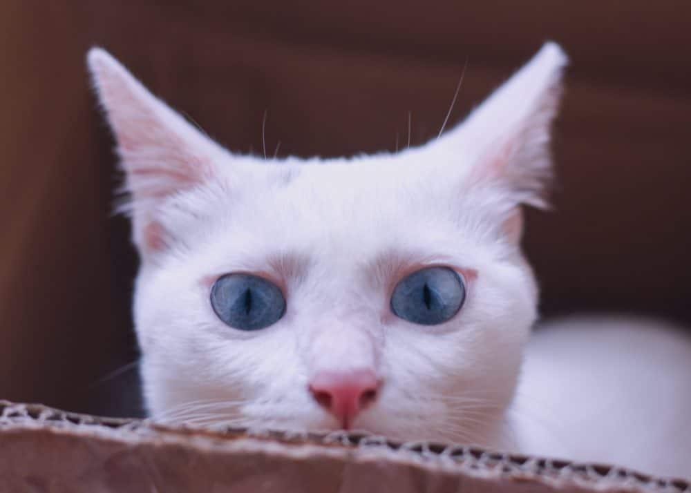Nama Kucing Betina Putih