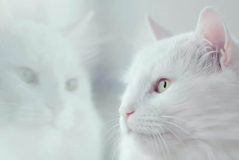 Nama Kucing Jantan Putih 1