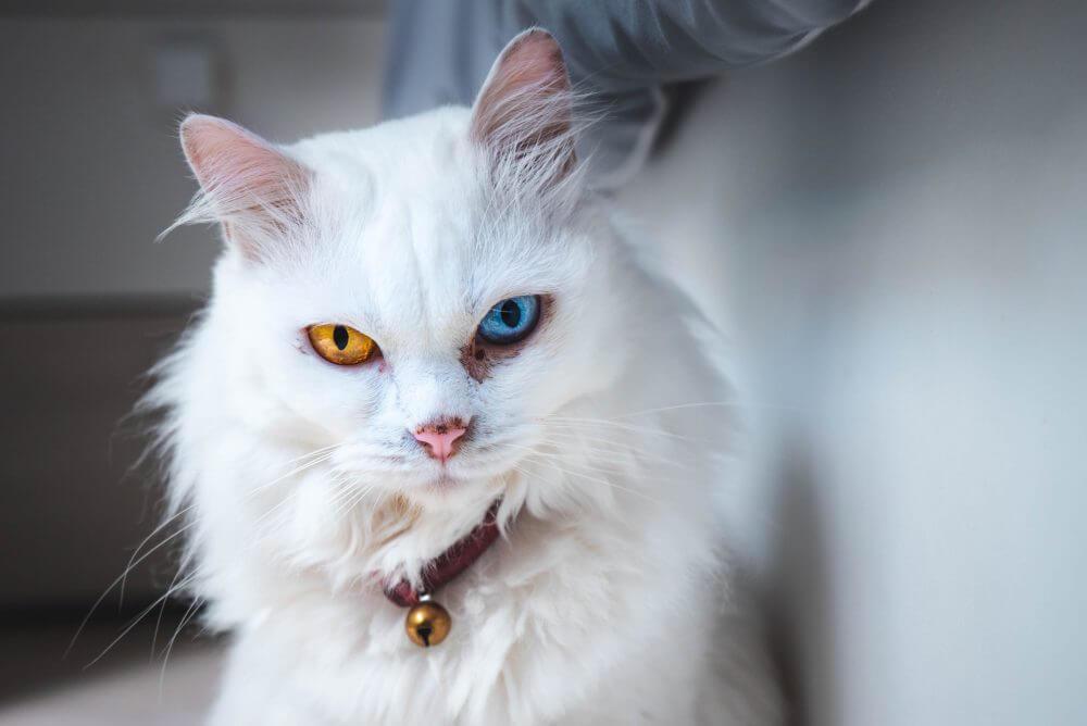 Nama Kucing Putih Korea